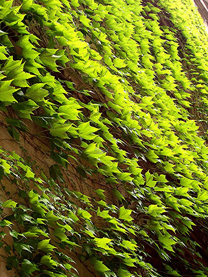 Nature Photograph - Ivy League-ivy Lines by Caroline  Urbania Naeem