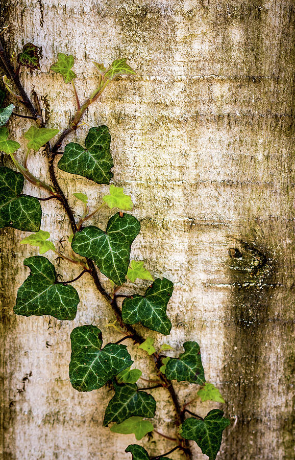 Ivy on the Fence Post by Susie Weaver