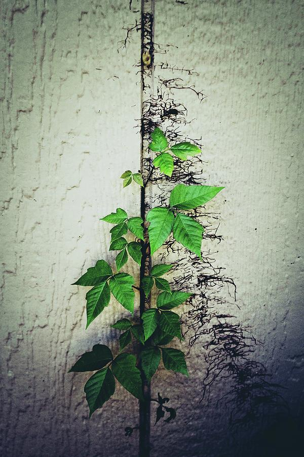 Green Photograph - Ivy by Summer Davis