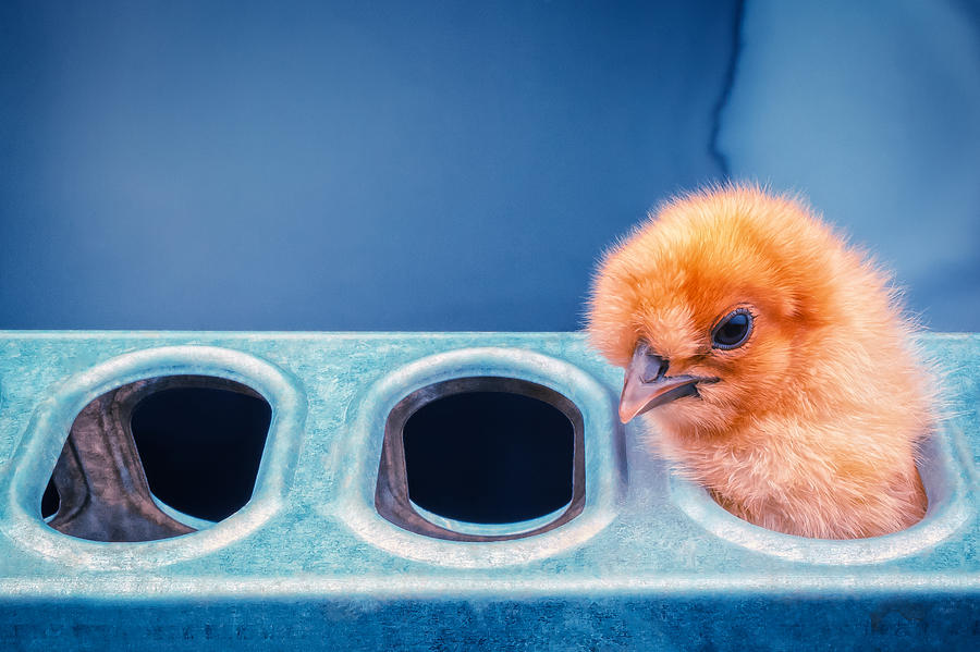 Chicks Photograph - Iz In Da Feeder. by TC Morgan