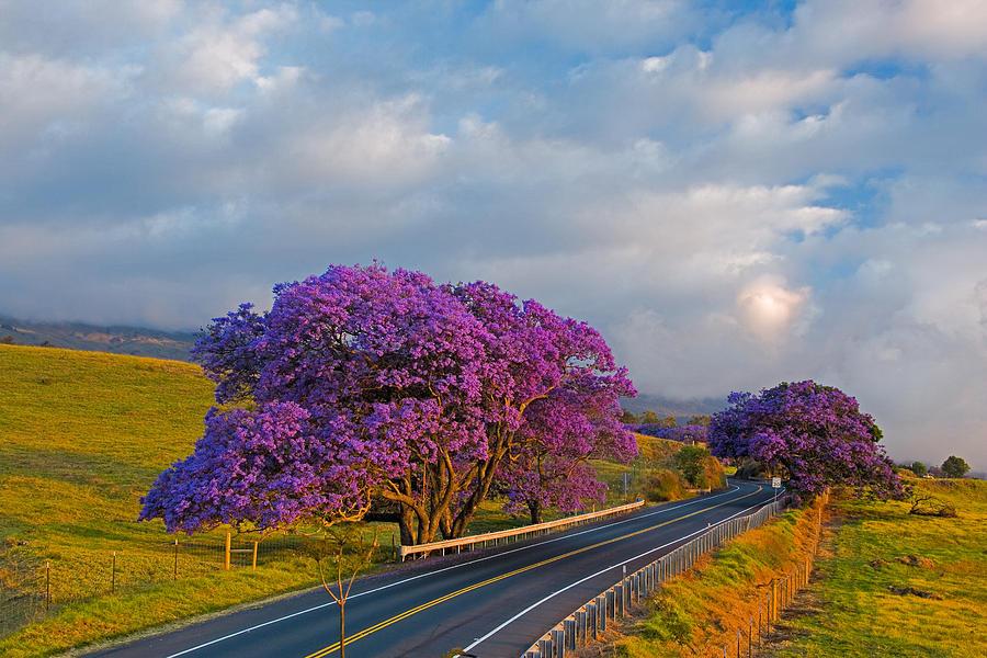Jacaranda #6 - A Row Of Jacaranda Trees In Full Bloom ...