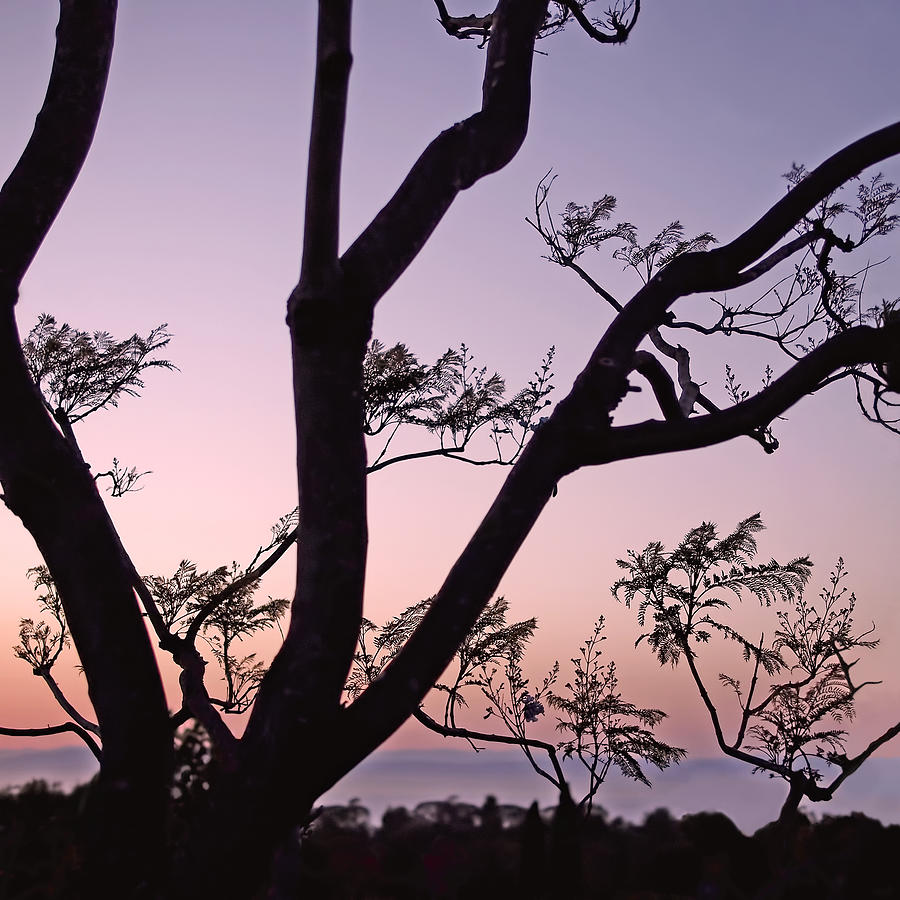 Jacaranda Silhouette by Rona Black