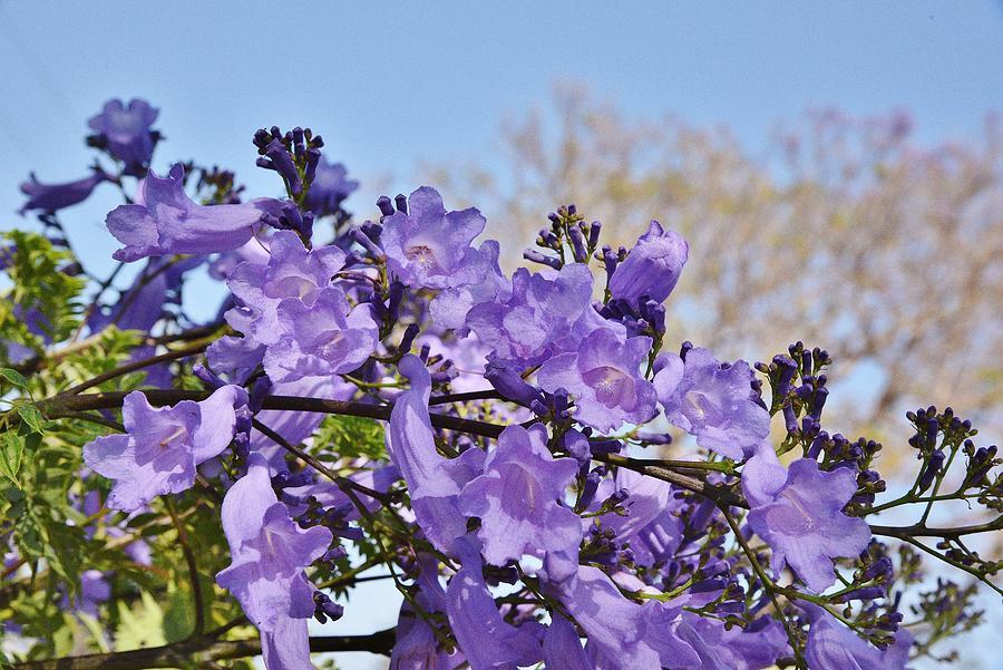 Jacaranda Tree Flowers 1 Photograph By Linda Brody