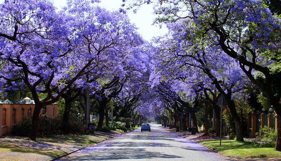 Jacaranda Photograph - Jacarandas In Pretoria by Lene Pieters