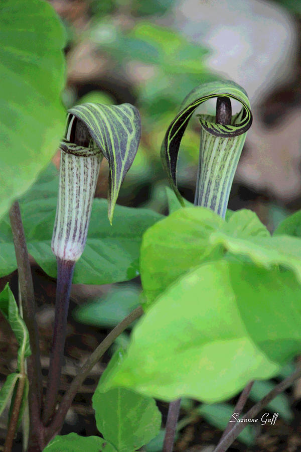 Jack In The Pulpit Photograph - Jack In The Pulpit Enhanced by Suzanne Gaff