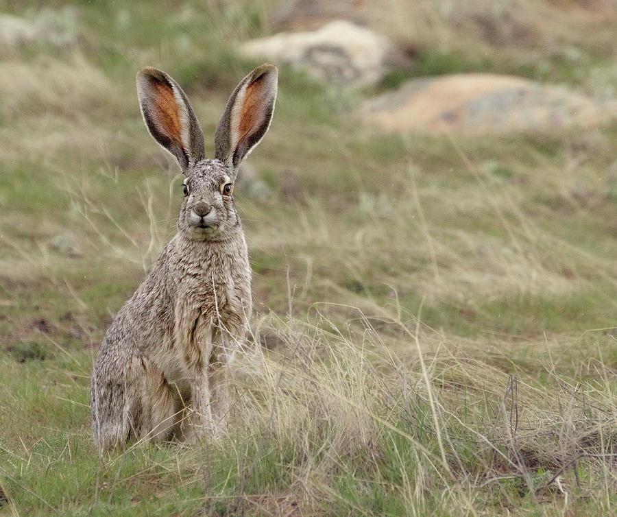Jack Rabbit Photograph - Jack Rabbit by Joan Escala