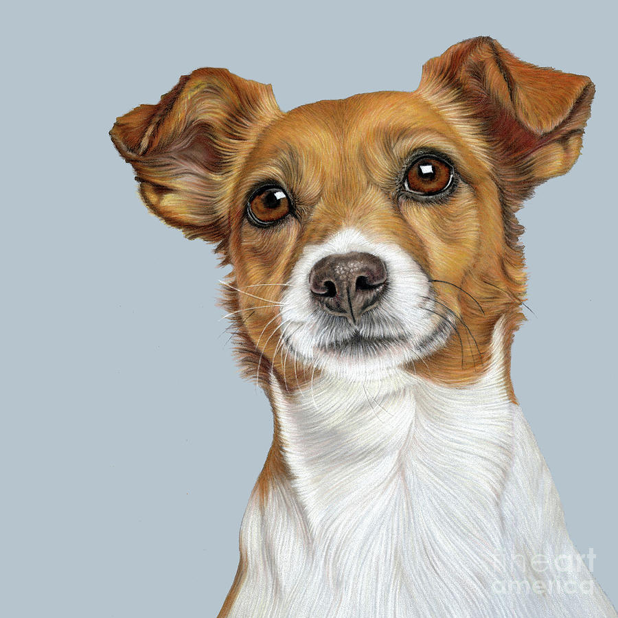 Jack Russell Drawing - Jack Russell Terrier by Donna Mulley
