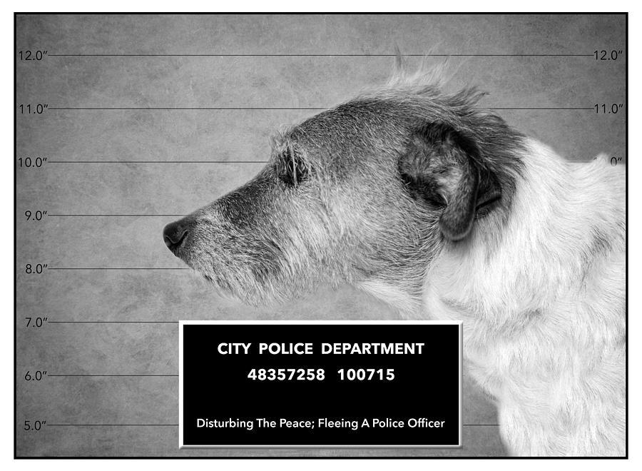 Mugshot Photograph - Jack Russell Terrier Mugshot - Dog Art - Black And White by SharaLee Art