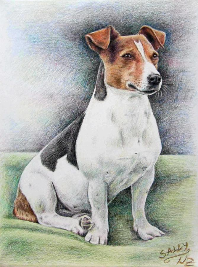Jack Russell Terrier Drawing by Nicole Zeug