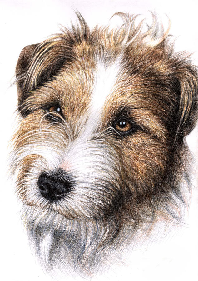Jack Russell Terrier Portrait Drawing By Nicole Zeug