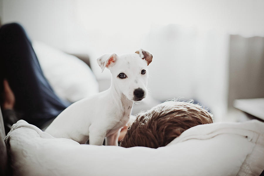 Jack Russell Terrier Puppy With His Owner Photograph by Lifestyle photographer