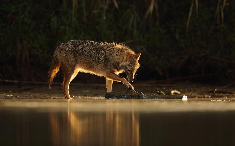Nature Photograph - Jackal Morning Play by Assaf Gavra