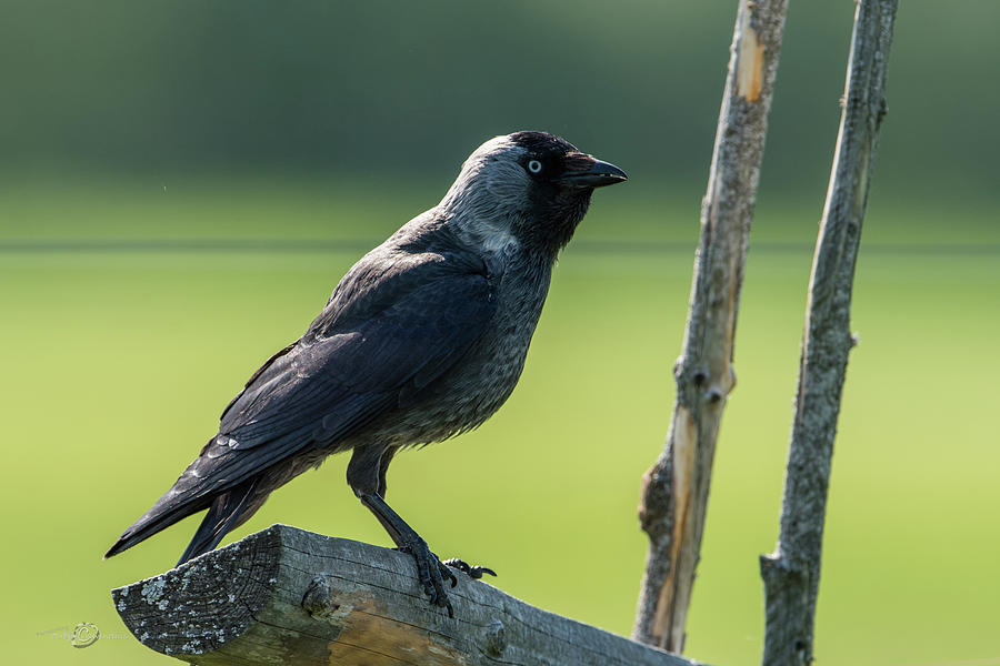 Jackdaw On The Fence Photograph