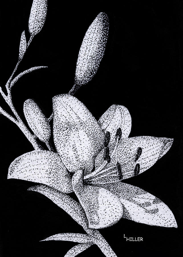 Flower Drawing - Jacquis Lily by Linda Hiller