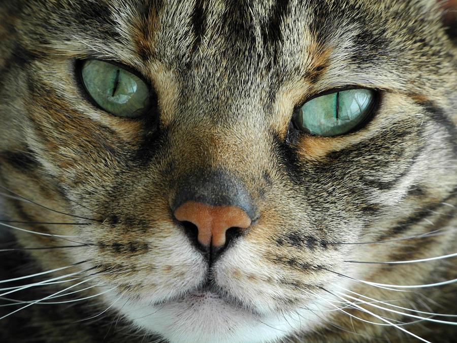 Cat Photograph - Jade by Frank Mari