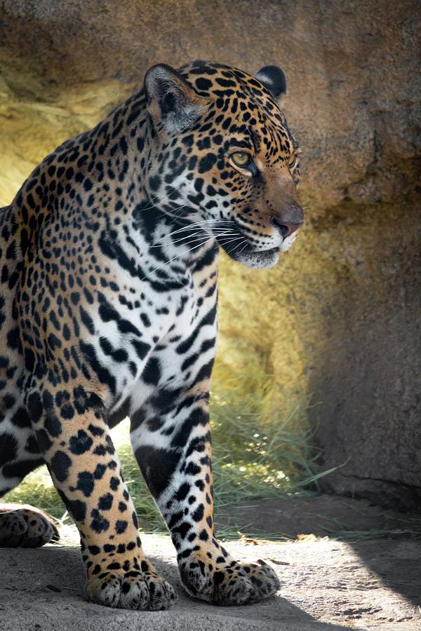 Jaguar Photograph - Jaguar At Rest by Steven Jones