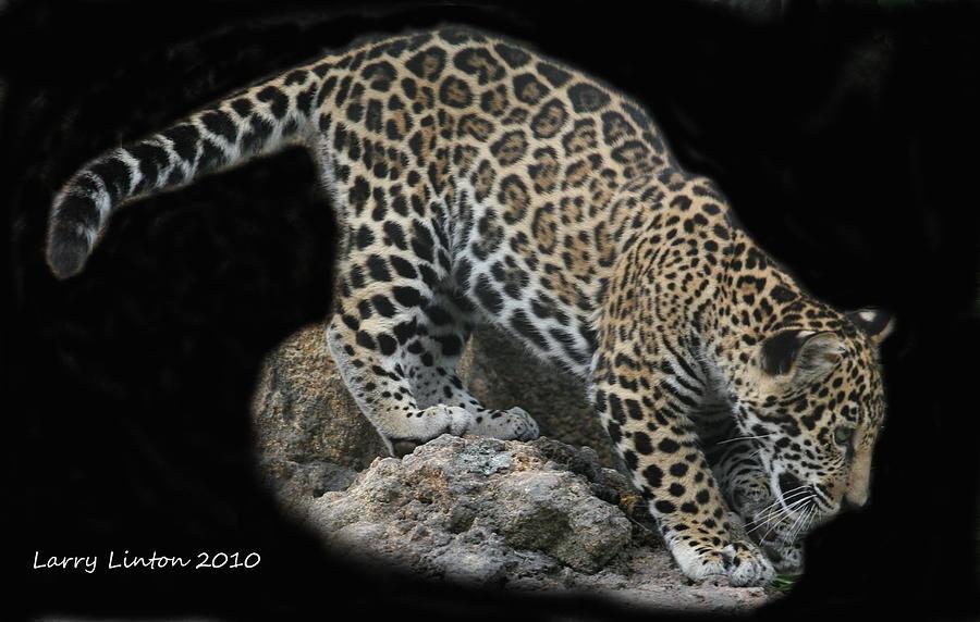 Jaguar Photograph - Jaguar Cub by Larry Linton