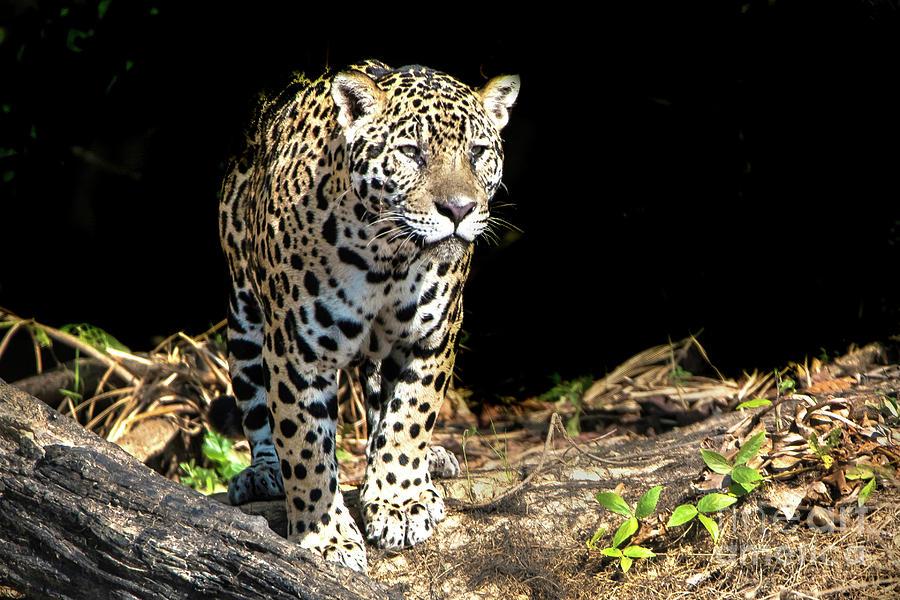 Jaguar Photograph - Jaguar Stare by Pravine Chester