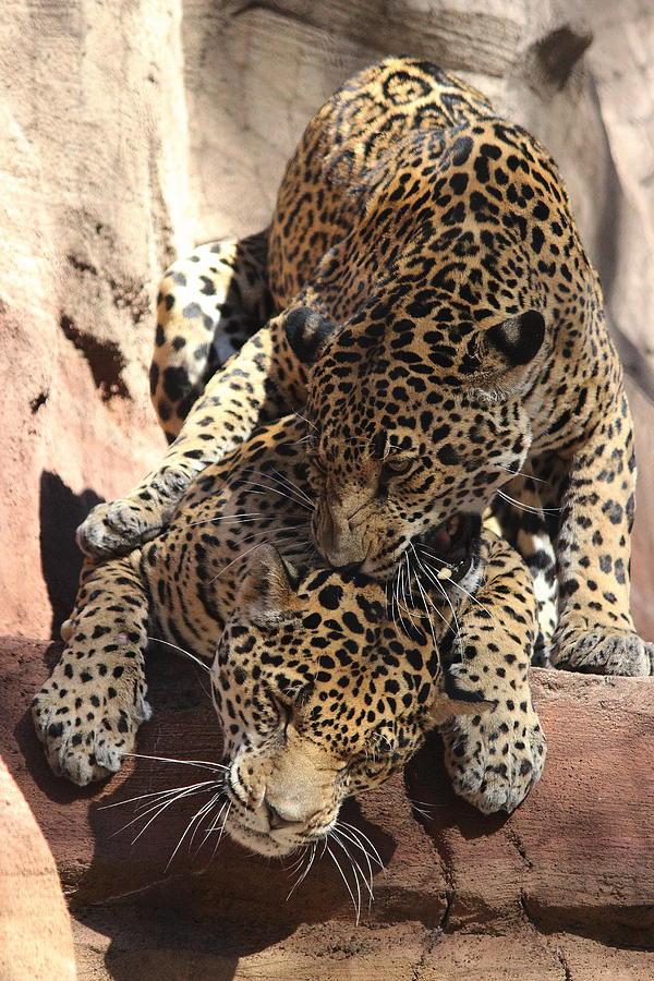Jaguars - He Bites During Kissing by Jake Danishevsky