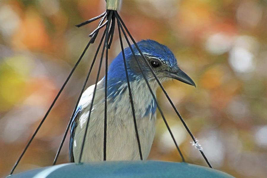 Scrub Jay Photograph - Jail Bird by Donna Kennedy