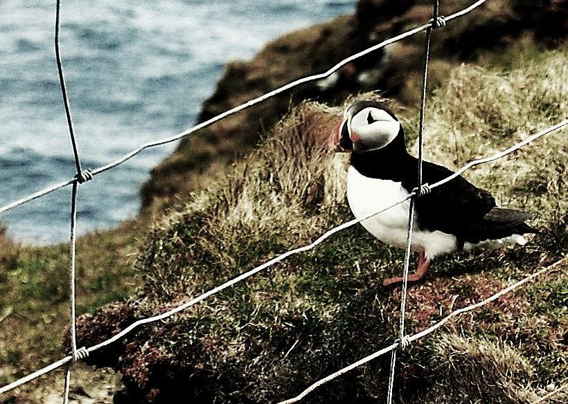 Puffin Photograph - Jailbird by HweeYen Ong