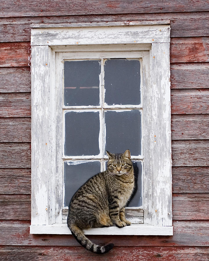 jake in the barn window photograph by laurie withbarn cat photograph jake in the barn window by laurie with