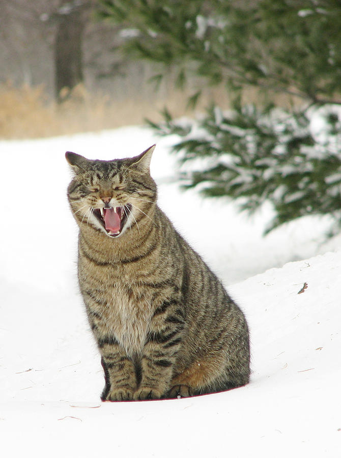 Barn Cat Photograph - Jake In The Snow by Laurie With
