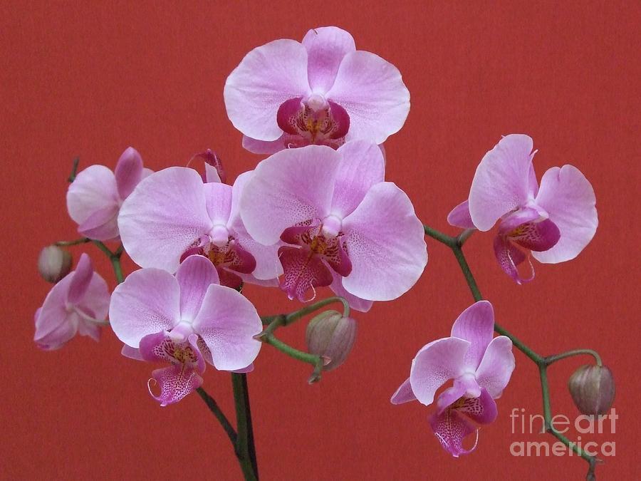 Phalaenopsis Photograph - Japanese Beauty by Deborah Brewer
