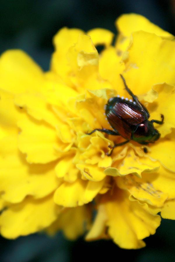 Bug Photograph - Japanese Bettle eating lunch by Linda Kupstas