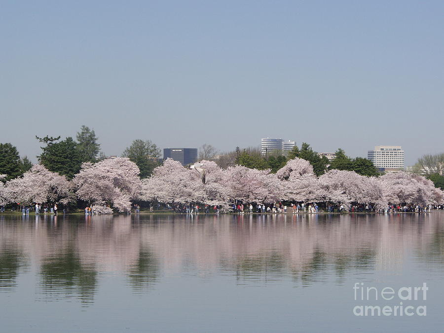 Cherry Blossoms Photograph - Japanese Cherry Blossom Trees by April Sims