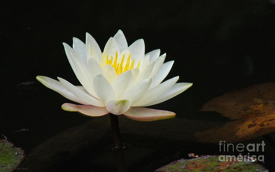 Asian Photograph - Japanese Garden Lily  by Heike Ward