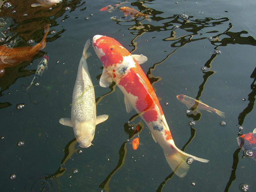 Japanese Koi Carp Photograph By Gary Bartoloni