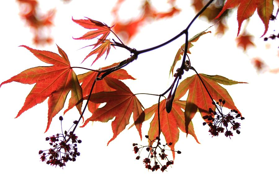 Nature Photograph - Japanese Maple 2011-2 by Robert Morin