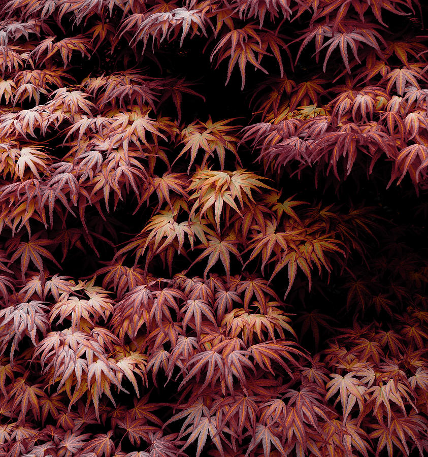 Japanese Maple Photograph - Japanese Maple, Acer Palmatum Seigen by Frank Tschakert