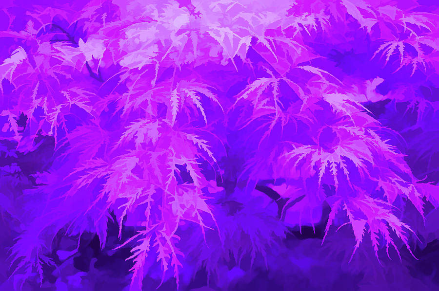 Japanese Maple Amethyst Photograph By Aimee L Maher Alm Gallery