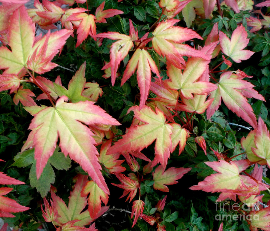 Plants.maple Photograph - Japanese Maple by Cynthia Adams