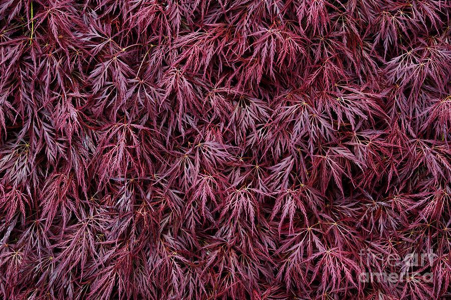 Japanese Maple Garnet Photograph By Tim Gainey