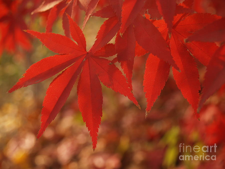 Leaf Photograph - Japanese Maple In Afternoon by Anna Lisa Yoder