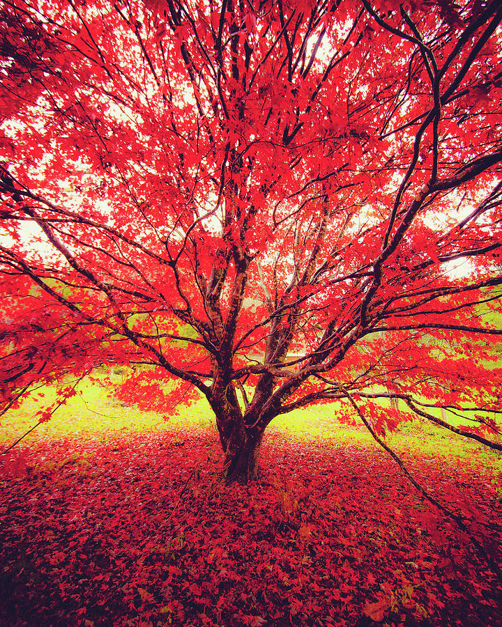 Japanese Maple in Fall 2 by Mela Luna