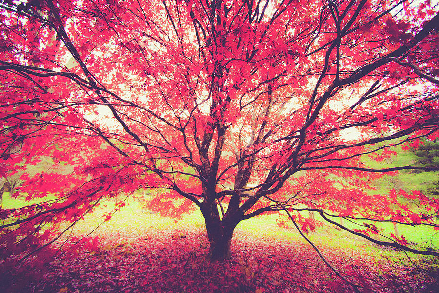 Japanese Maple in Fall by Mela Luna