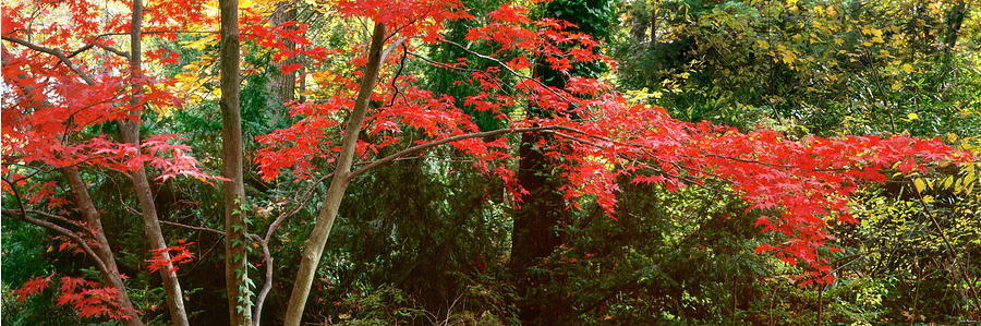 Japanese Maple by John Pagliuca