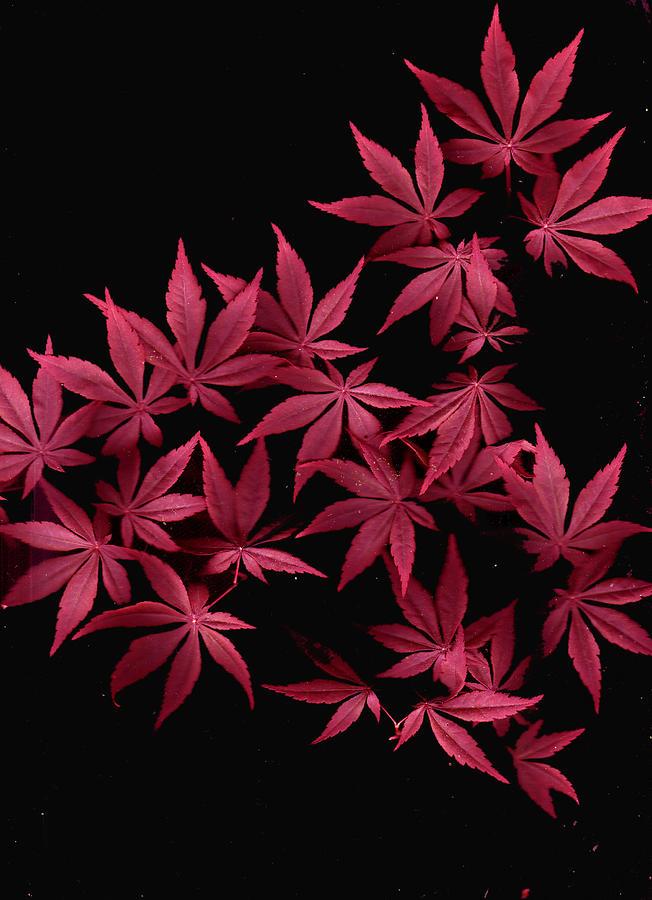 Japanese Maple Photograph - Japanese Maple Leaves by Wayne Potrafka