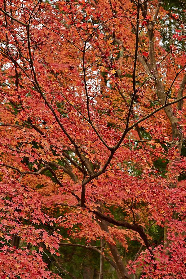 Japanese Maple Tree Photograph By Liz Grandstaff