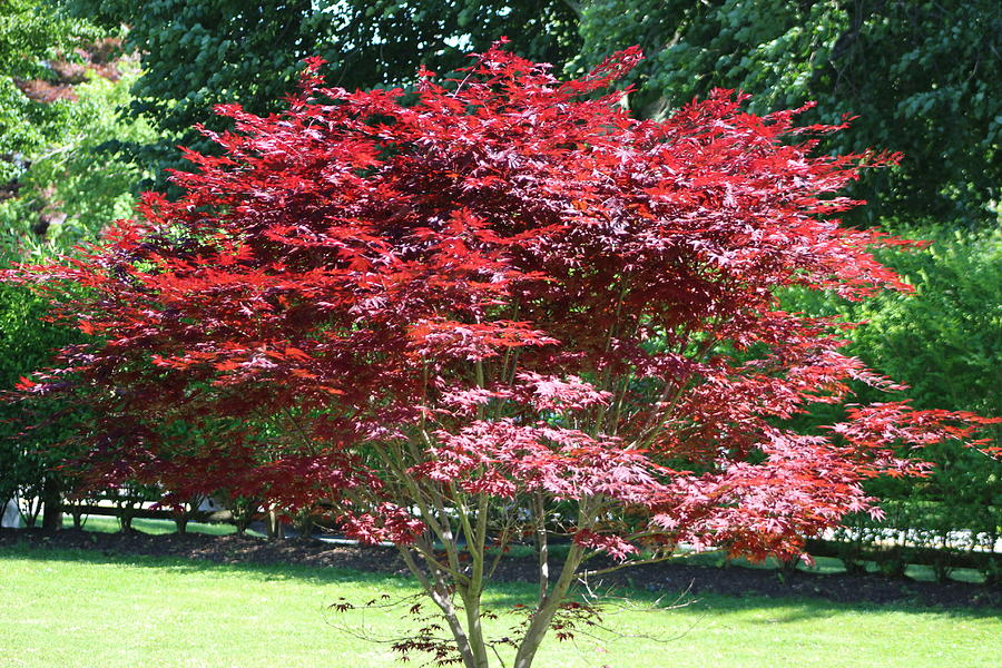 Japanese red maples bring color to fall | Local News ... |Japanese Maple Red Beetle