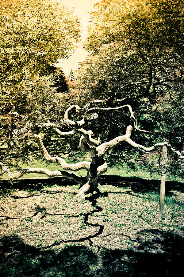 Japanese Maple Tree Photograph - Japanese Threadleaf by Colleen Kammerer