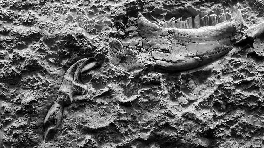 Jaw Bone B W Photograph