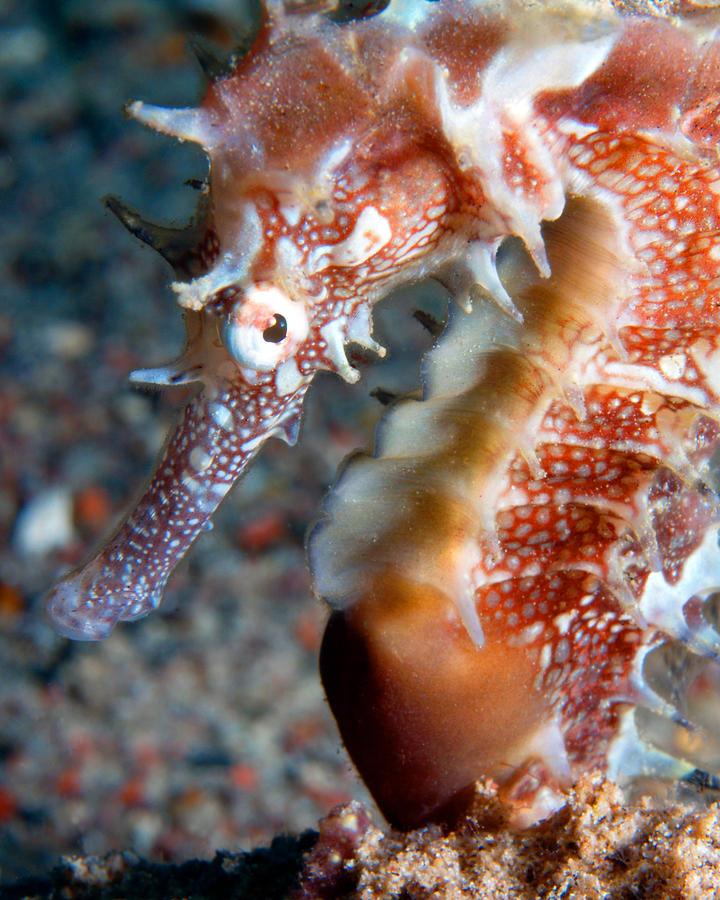 Jayakar's Seahorse, Red Sea, Israel 2 by Pauline Walsh Jacobson
