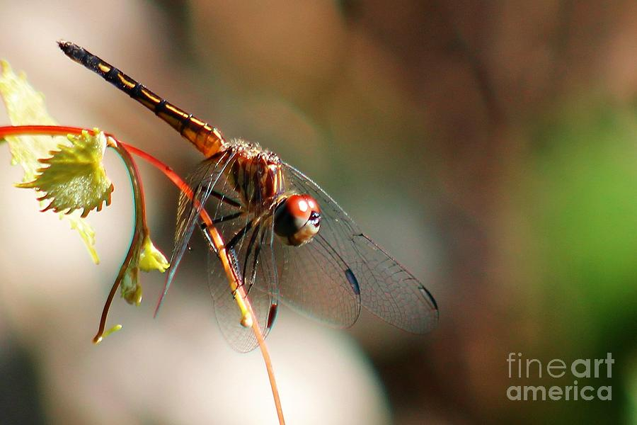 Dragonfly Photograph - Jelks Dragon by Robert Wilder Jr