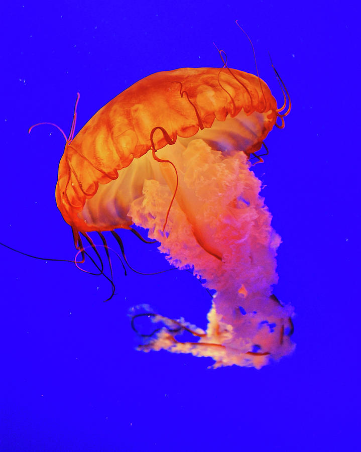 Vertical Photograph - Jelly Fish by Davidhuiphoto