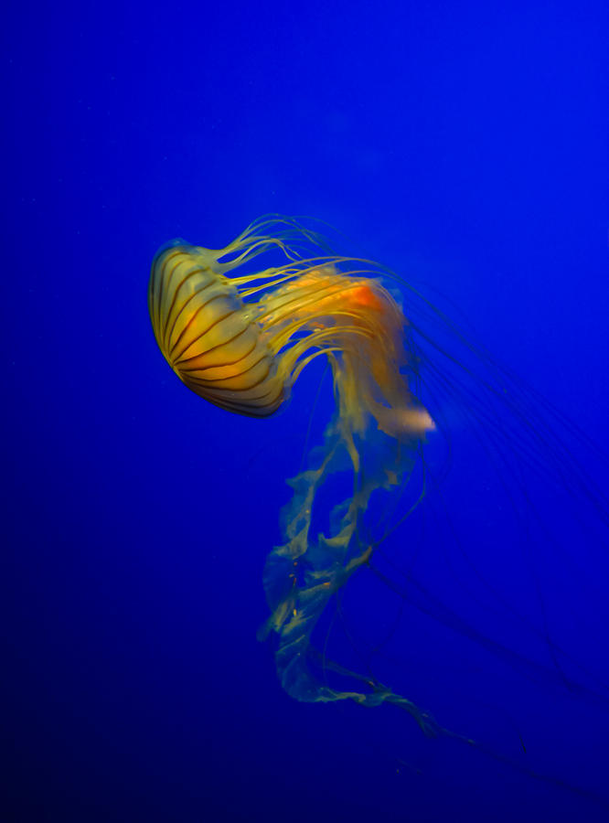 Animal Photograph - Jellyfish From The Deep Blue by Nila Newsom